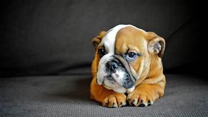 Bulldog Dog Puppy English Wallpapers Puppies Inglese