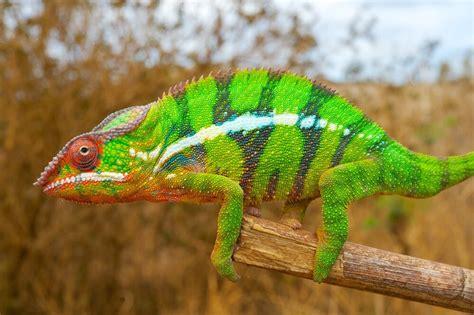chameleon change color chameleons color changing secret revealed