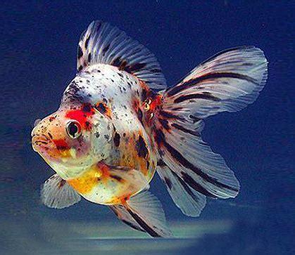types  goldfish  aquarium fish paradise