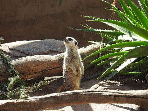adelaide zoo meerkat supporters peregrine travel centre