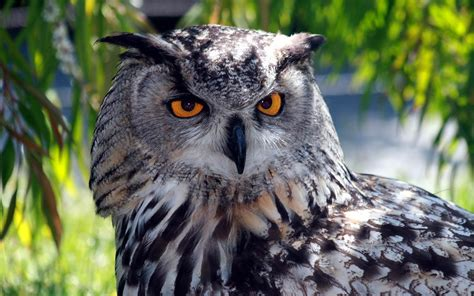 Owl Wallpaper by Free Owl Wallpapers Wallpaper Cave