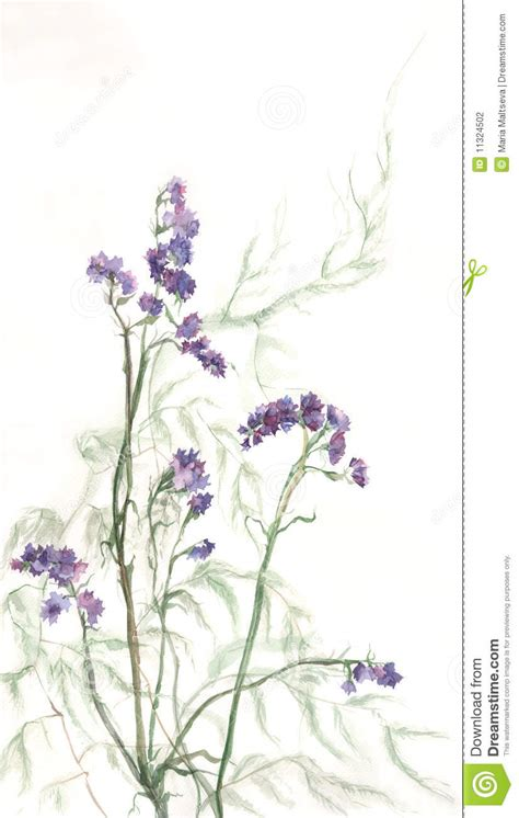 limonium watercolor painting stock illustration image
