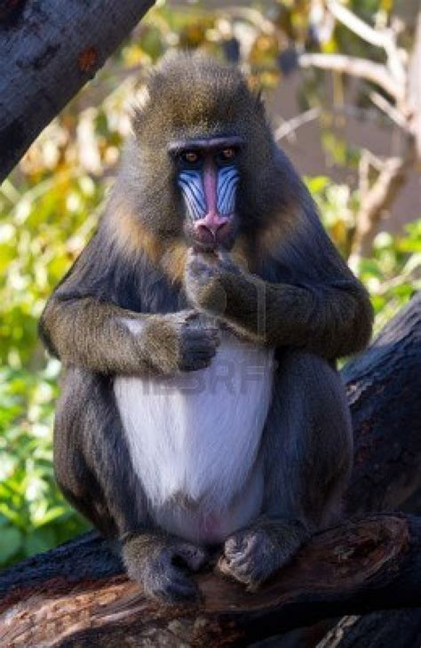 animals   world mandrill