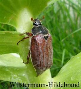 Schwarze Käfer Im Garten : tierische besucher im garten ~ Lizthompson.info Haus und Dekorationen