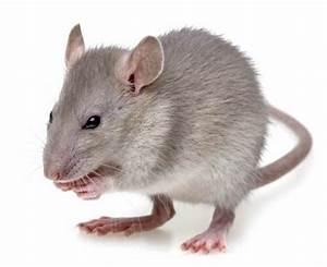 Comment Tuer Un Rat : comment tuer les souris dans vos murs ou cloisons rapidement ~ Mglfilm.com Idées de Décoration