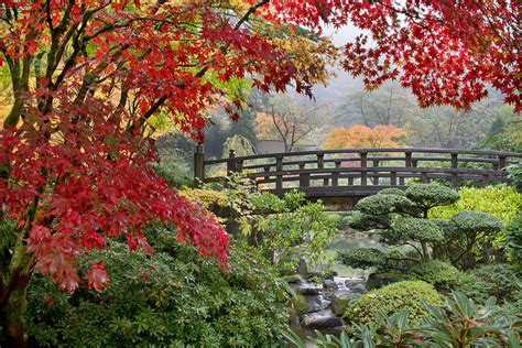 japanese maple fall japanese maple trees by the bridge in fall photograph by jpldesigns