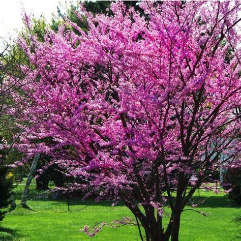 pictures of eastern redbud trees eastern redbud tree lookup beforebuying