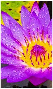 Water Lily Purple And Yellow Flower Hd Wallpaper High ...