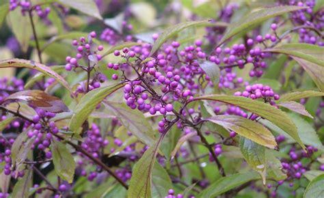 Beeren Im Herbst by Sch 246 Nfrucht Durch Steckholz Vermehren Vermehrung