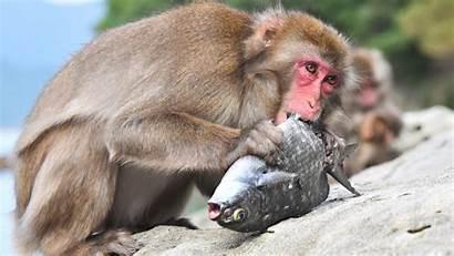 Monkey Fish 4k Eating Wallpapers Animals Walls