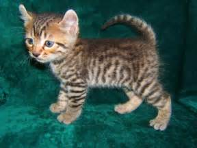 toyger cat toyger kitten i want one toygers sooo want