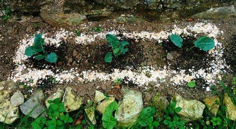 Eggshells In Garden by Eggshells Slugs Do They Really Work