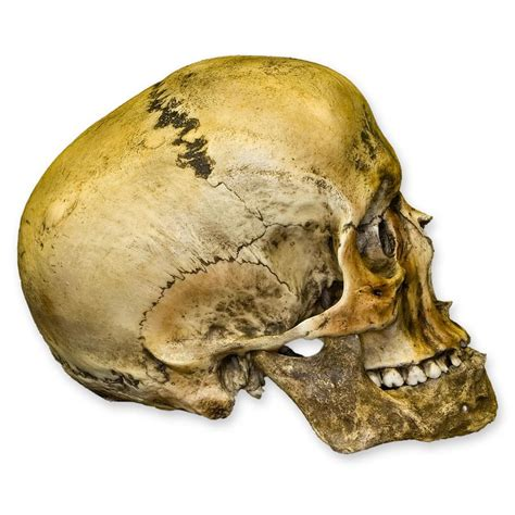 Replica Roman Gladiator Human Skull For Sale Skulls