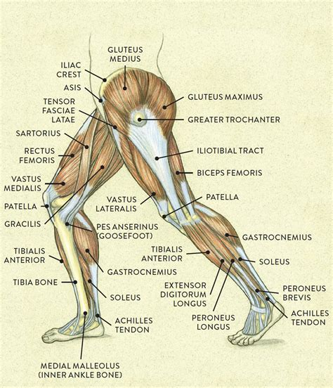 Interesting facts about voluntary muscles the human body has over 600 voluntary/skeletal muscles. Muscles of the Leg and Foot - Classic Human Anatomy in ...
