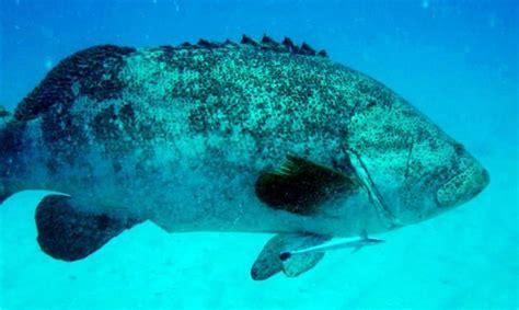 grouper goliath sea reefs tropical under virgin islands caribbean chikuzen wreck appeared catamaran lend remora bvi snorkeling trailing again foot