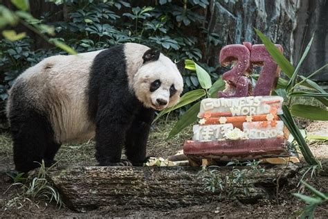 oldest panda  captivity celebrates  birthday