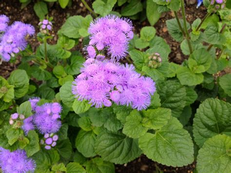 purple vine flowers names garden plant identification what is the name of this plant with purple flowers snaplant com