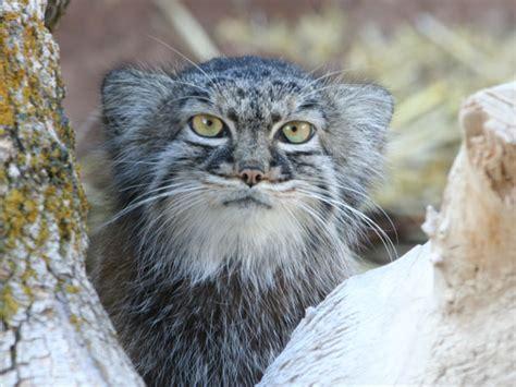 Pallas' Cat  Utah's Hogle Zoo