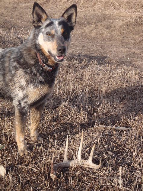 Do Blue Heelers Shed by Shed Photograph By Peterson