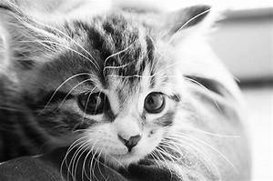 b&,w, black and white, cat, cute, djur - image #48204 on ...