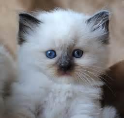 doll cat ragdoll cat breed 20 beautiful ragdoll images to melt