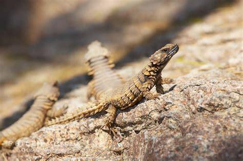 Armadillo Lizard Photo, Stock Photograph Of An Armadillo