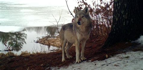 Wisconsin wolf population continues to rise above ...