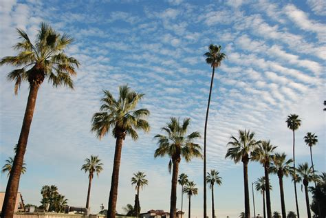 palm tree l the eight most essential trees in los angeles l a weekly