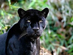 Black Jaguar Wallpapers - Wallpaper Cave