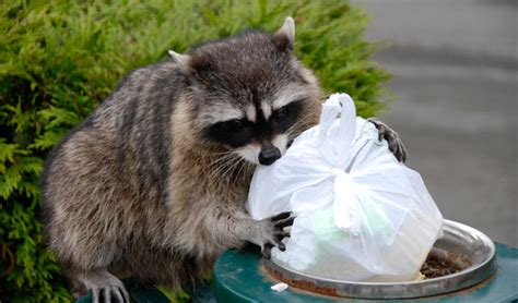 owning a raccoon 3 tips for getting rid of raccoons