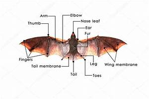 Bat Formation Diagram  U2014 Stock Photo  U00a9 Sciencepics  73308899
