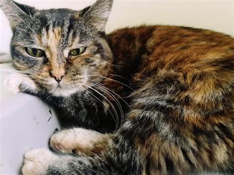 alimentazione diabetico alimentazione gatto diabetico diabete felino