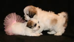 Shichon Teddy Bear Puppies