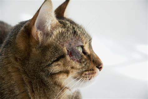 Miliary Dermatitis In Cats Causes Symptoms And Care
