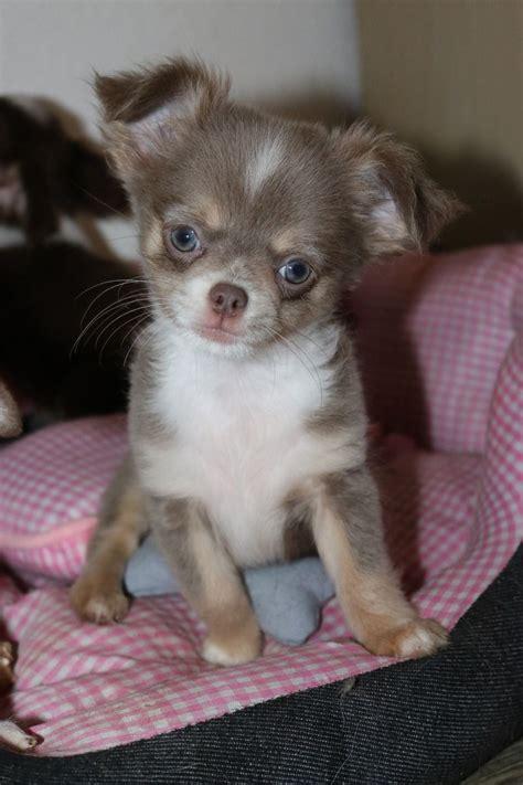 Chihuahua Welpen Spielzeug
