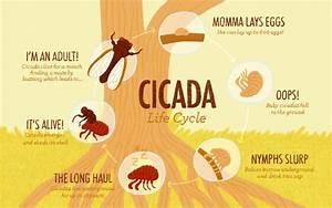 Cicada Life Cycle Diagram