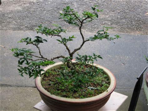 tanaman hias koleksi pokok bonsai jualan