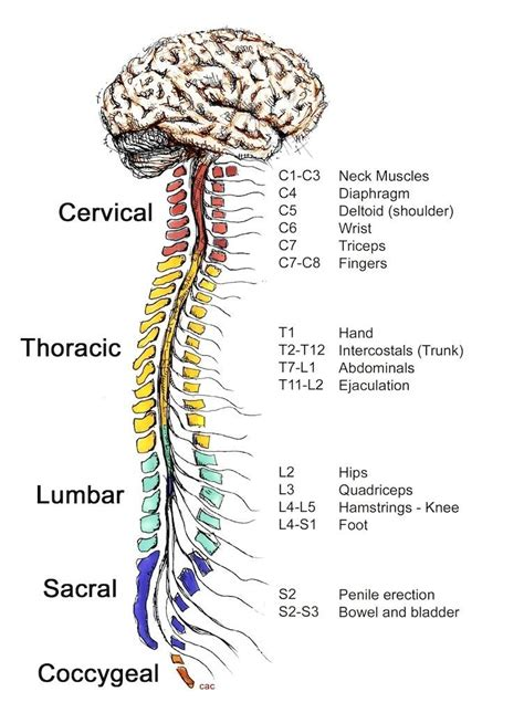 How The Spinal Cord Relates to Bodily Functions : coolguides