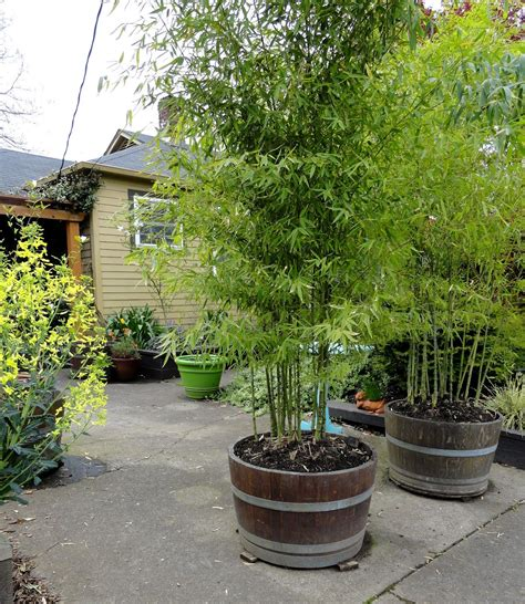 bamboo ideas for backyard bamboo in barrels grows quickly adds privacy efective way to control any invasive plant like