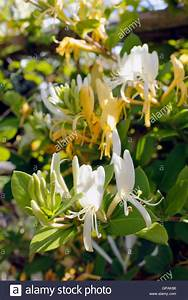 Honey yellow Honeysuckle flowers in sunlight Stock Photo ...