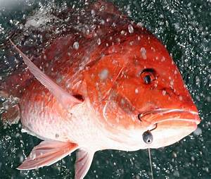 GMFMC Requests Emergency Rule for 11-Day Red Snapper Season