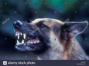german shepherd guard dog growling Stock Photo, Royalty ...