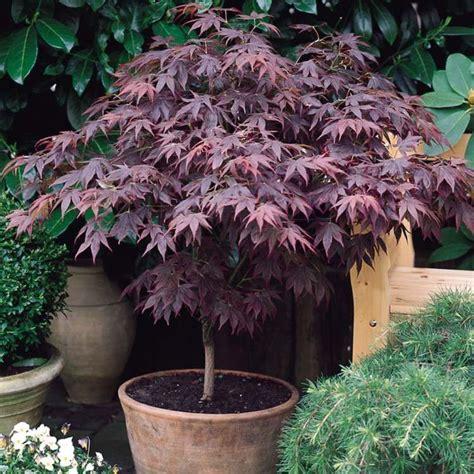 erable du japon en pot esp 232 ces d 233 rable du japon conseils plantation et