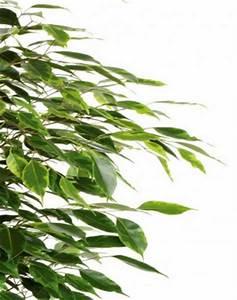 Pflanzen Luftreinigung Schlafzimmer : pflanzen zum wohlf hlen pflanzenportraits ficus ~ Eleganceandgraceweddings.com Haus und Dekorationen