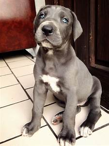Blue Great Dane Puppy Cute | www.imgkid.com - The Image ...