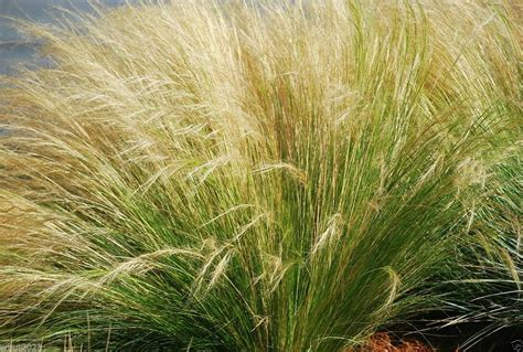 mexican feather grass mexican feather grass called silky thread grass or mexican needle grass 100 seed ornamental
