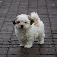 Mal-shi (Maltese X Shih Tzu Mix) Temperament, Puppies ...