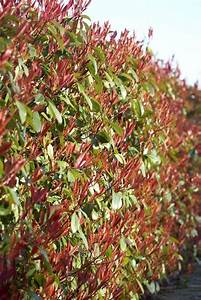 Photinia Red Robin : photinia red robin ~ Michelbontemps.com Haus und Dekorationen