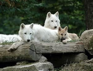 Bébé Loup Blanc : loup blanc de sib rie lupi wolf ~ Farleysfitness.com Idées de Décoration