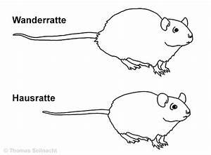 Ratten In Der Wand : wanderratte ~ Yasmunasinghe.com Haus und Dekorationen